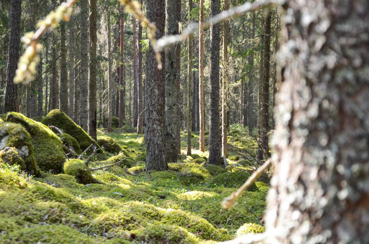 Skog-e1557218460306