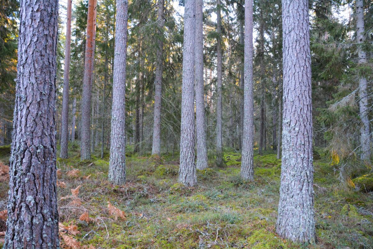 Slutavverkningsmogen-skog-1-e1543236328326